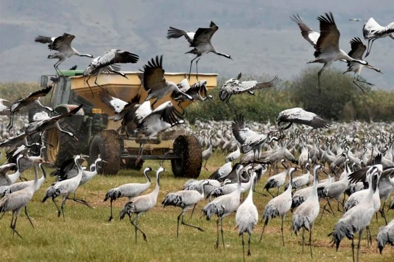 Wildlife agriculture conflicts: case study crane management in the Hula Valley