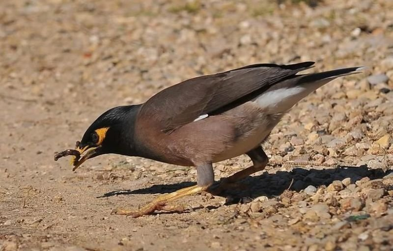 Nest-site competition between invasive and native cavity nesting birds