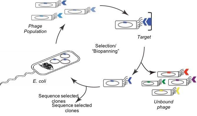 Immunogen engineering