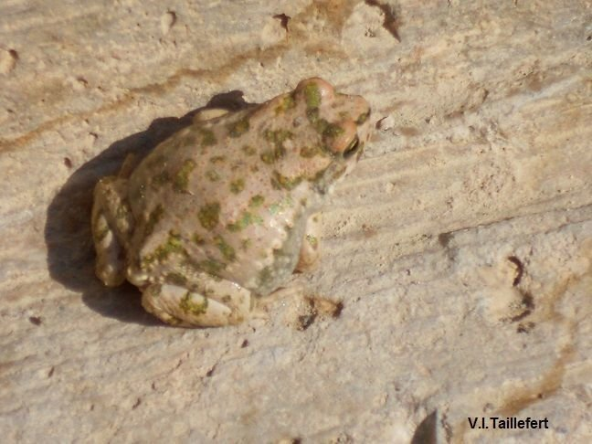 The Levant Water Frog