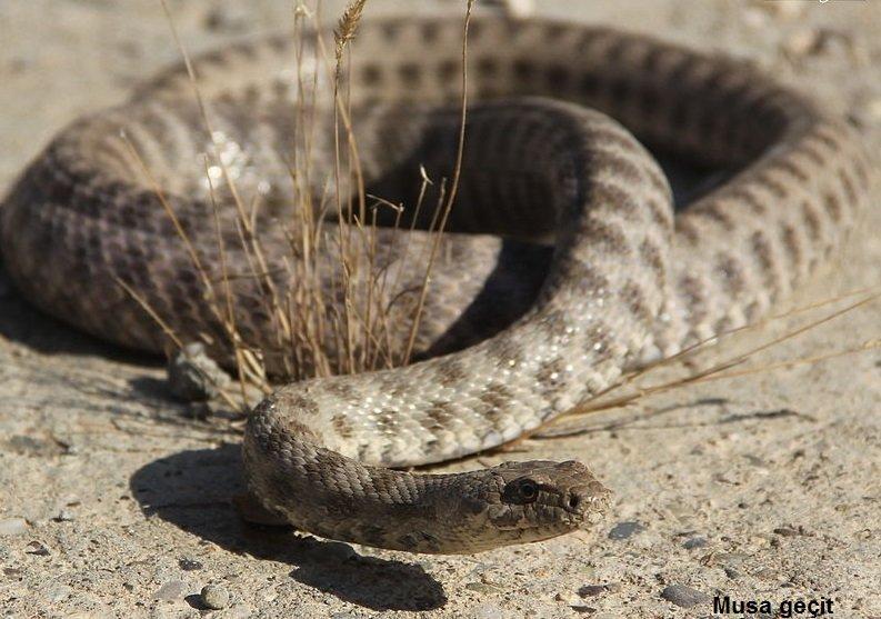 The Ravergieri Garter Snake