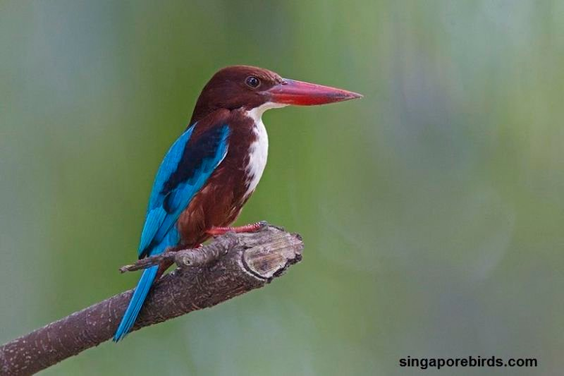 The Smyrna Kingfisher or the White-Throated Kingfisher