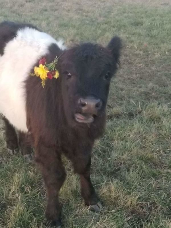 Farm Animals for Special Occasions
