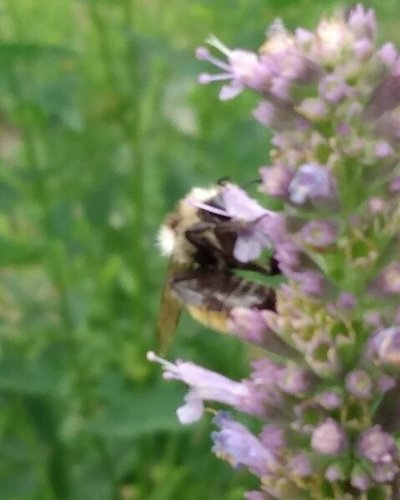 Other Bees and Pollinators