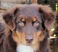 AKC pointed, ASCA Major pointed, Irongate's Judge Advocate General.  Jag is a handsome dark red boy who has minimal white trim and rich copper points. Jag inherited his sire Xec's wonderful temperament and both parents' athleticism. Jag also shows good herding instincts and ability like his dam Ziva. He is a happy, lively fun dog.