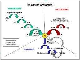 Che cosa sono i fattori della coagulazione?