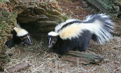 What to Check as You Look for the Reliable Skunk Removal Company?